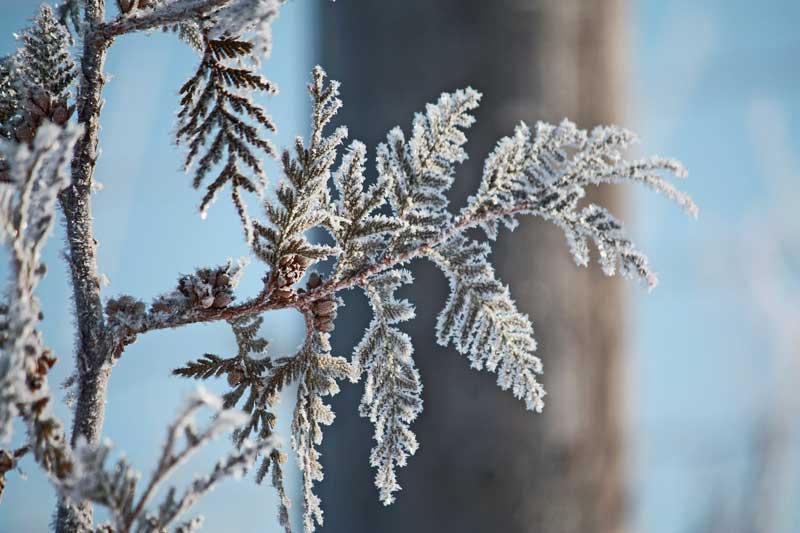 Frost Fern Tree